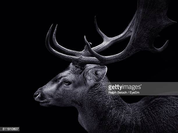Profile shot of stag over black background