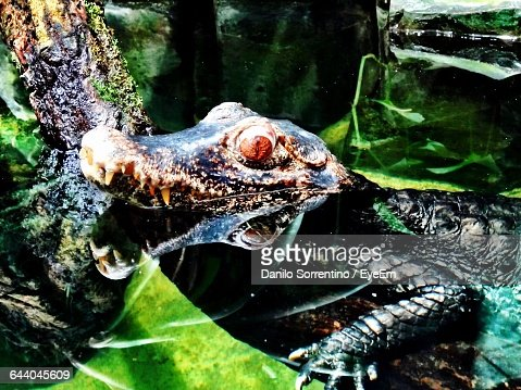 Profile View Of Alligator In Wild Forest Sticking Head Out Of Pond
