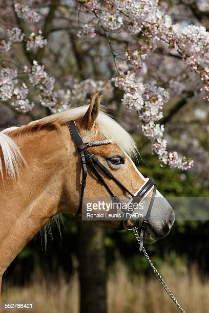 Profile View Of Horse Against Cherry Tree On Field