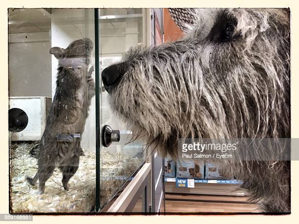 Profile View Of Irish Wolfhound Looking At Mouse In Glass Cage
