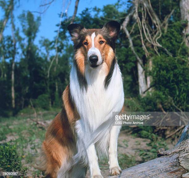 Promotional portrait of Lassie II a male collie dog who portrays the female titular character of the television series 'Lassie' 1959