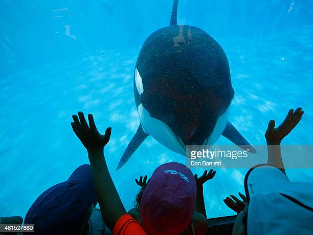 Prompted by a trainer Sea World San Diego visitors get a closeup view of an Orca whale through a window at the park on Aug 14 2014 in San Diego...