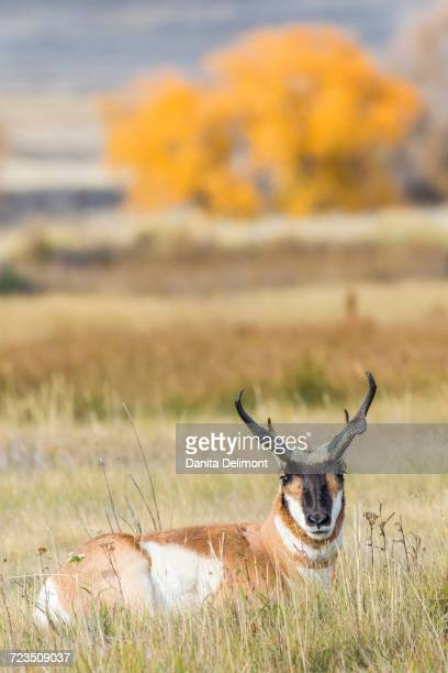 Pronghorn Antelope (Antilocapra Americana) buck lying down in grass, Sublette County, Wyoming, USA