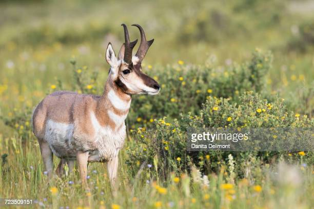 Pronghorn Antelope (Antilocapra Americana) buck standing in wildflower meadow consisting of Blue Flax and Cinquefoil, Red Rock Lakes National Wildlife Refuge, Montana, USA