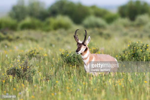 Pronghorn Antelope (Antilocapra Americana) buck standing in wildflower meadow consisting of Blue Flax and Cinquefoil eating grass stem, Red Rock Lakes National Wildlife Refuge, Montana, USA