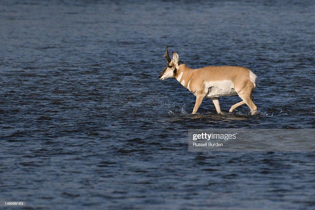 Pronghorn antelope in river : Stock Photo