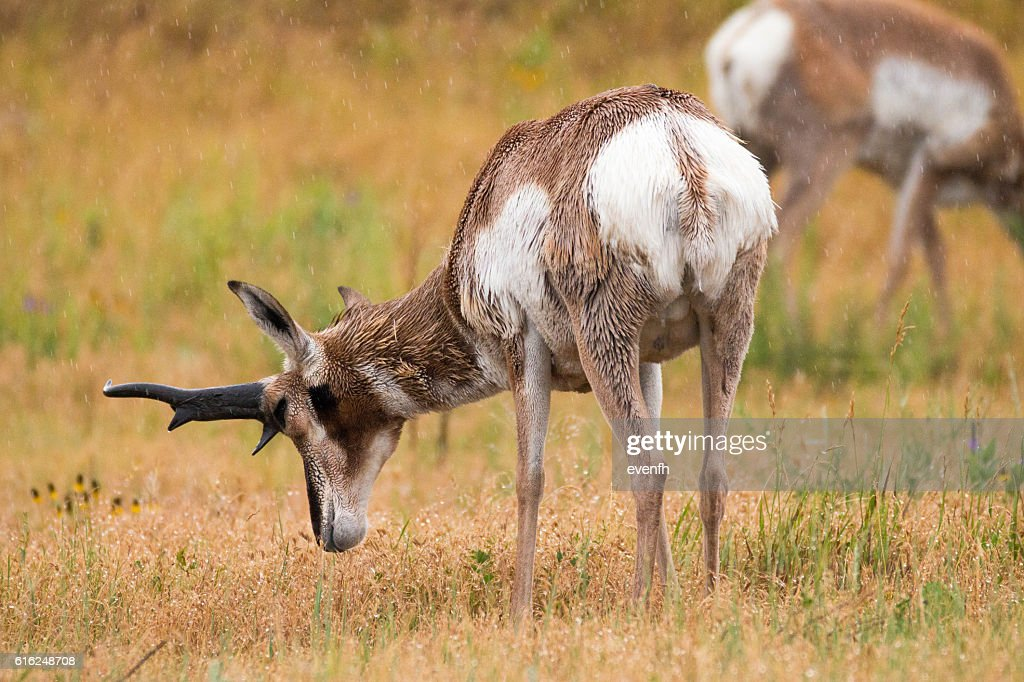 Pronghorn in Custer State Park, South Dakota : Stock Photo