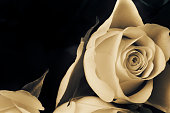 White rose on the black backround.