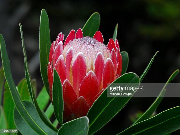 Protea 'Pink Ice'