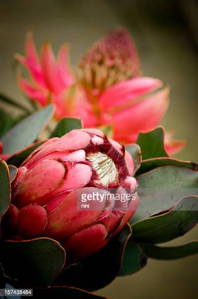 Proteas