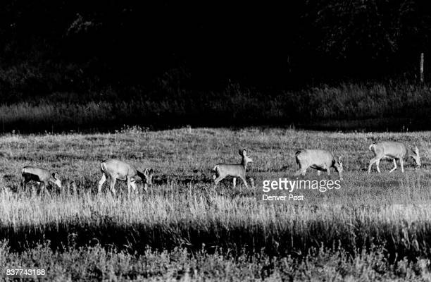 Protected Deer Enjoy Freedom Five deer graze placidly near Mount Shavano Fish Hatchery paying no mind to the people and activity around them Deer are...