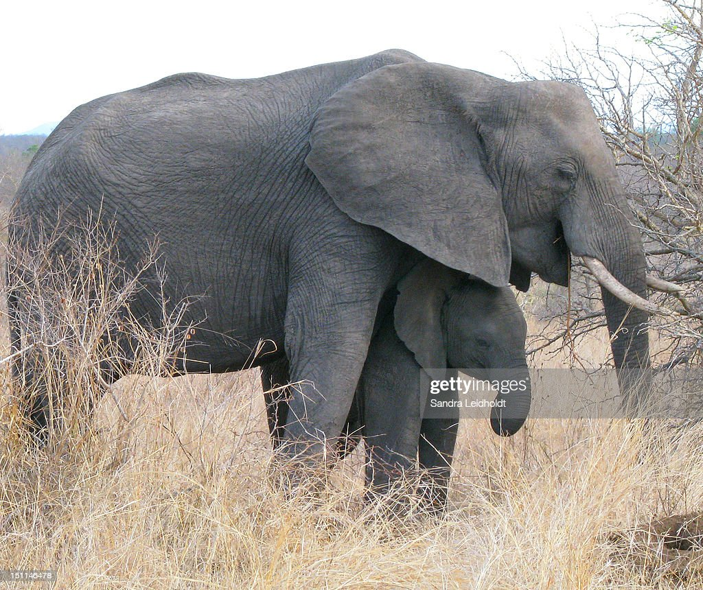 Protecting baby elephant : Stock Photo