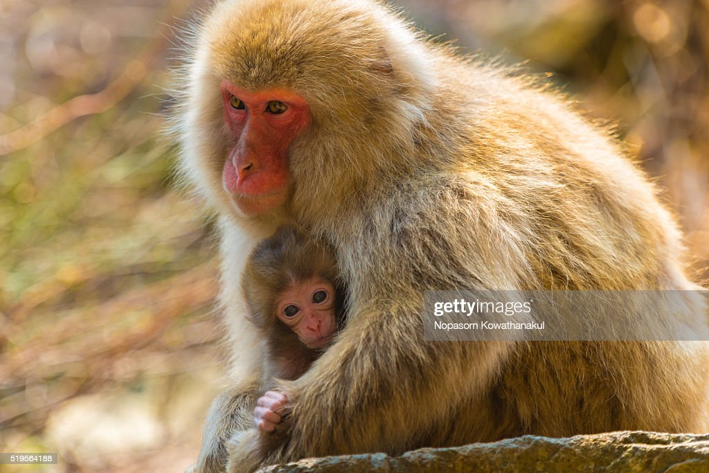 A protection of snow monkey mother