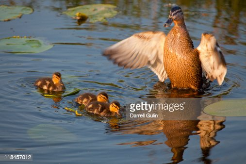 Protective Female Mallard and baby ducklings : Stock Photo