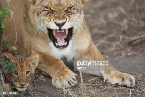 Protective Lioness mother