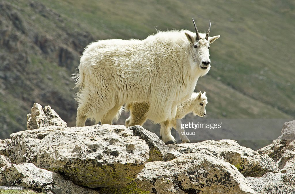 Protective Mother Goat with her Baby Goat : Stock Photo