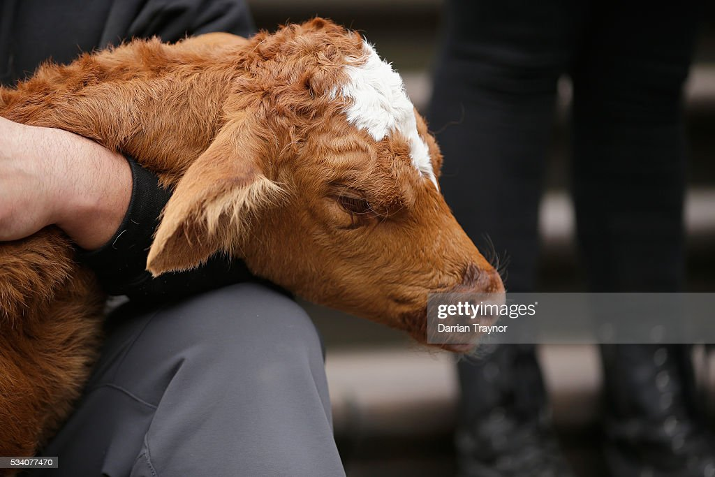 Protesters against the Dairy Industry hold dead calves during a march on Parliament House on May 25, 2016 in Melbourne, Australia. The Federal Government is expected to announce an assistance package for dairy farmers, who have been struggling due to falling milk prices in recent months.
