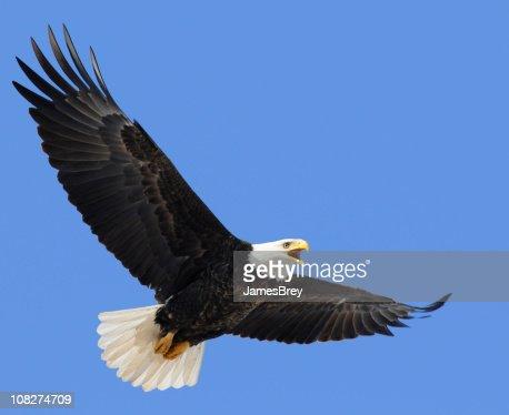 Proud American Bald Eagle Flying in Blue Sky, Leadership, Freedom