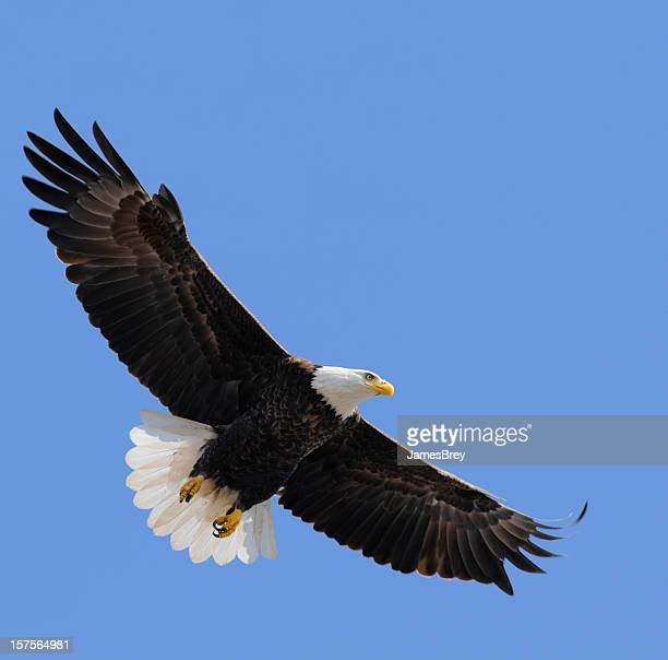 Proud American Bald Eagle Flying in Blue Sky, Leadership, Freedom