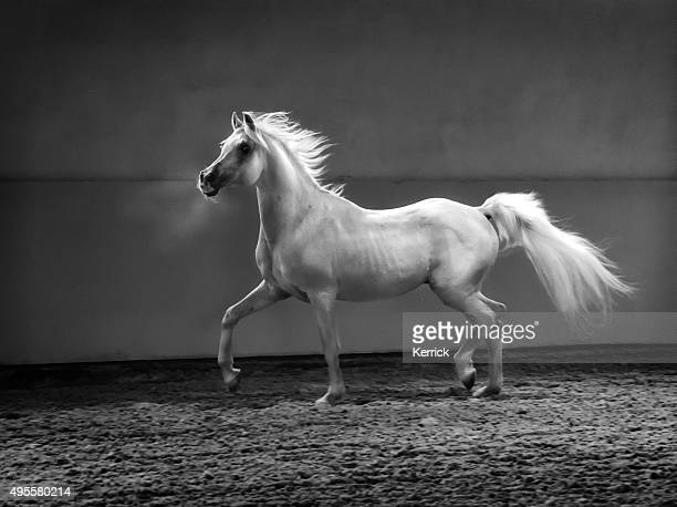 proud arabian horse - stallion in shining light