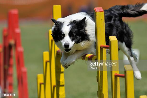 Proud dog jumping over obstacle