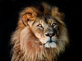 male lion with great mane