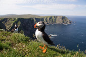 Close up of puffin - coastline of the most northern part of shetland islands in the background