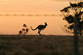 Proud to be Australian! Kangaroo hopping across sunset and aussie fence in foreground.