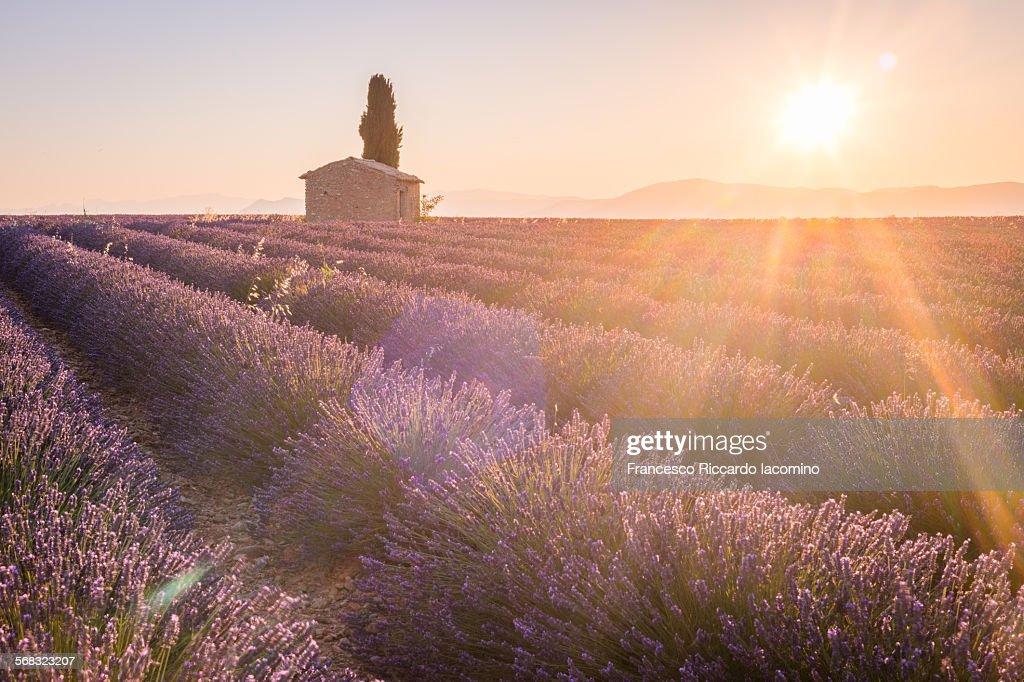 Provence, Lavander fields