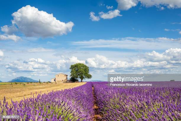 Provence, lavender flowering at Valensole Plateau