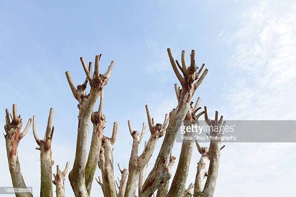 Pruned crepe myrtle tree