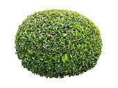 Pruned green laurel decorative globe form shrub isolated on white