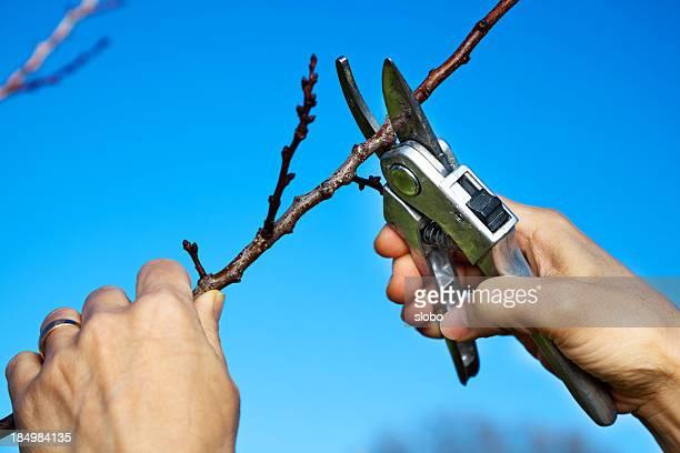 Tailler un arbre fruitier