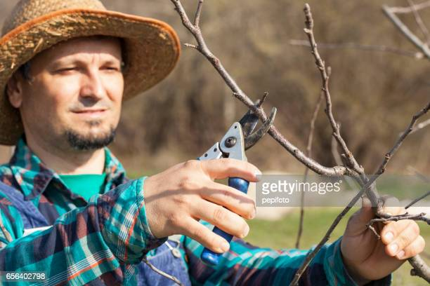 Pruning apple tree in the spring