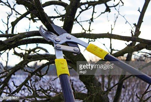 pruning apple tree : Stock Photo