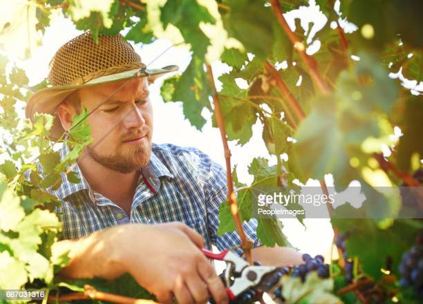 Pruning grapes the correct way is key