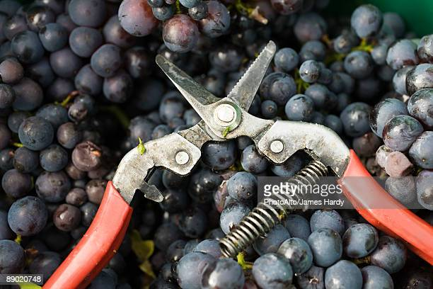 Pruning shears on heap of grapes