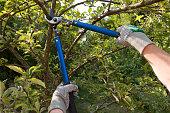Farmer pruning an apple tree with pruning shears