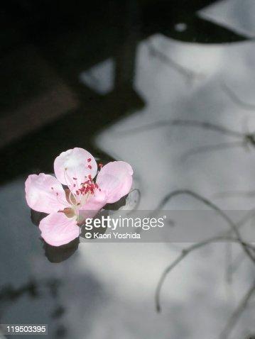 Prunus Persica : Stock Photo
