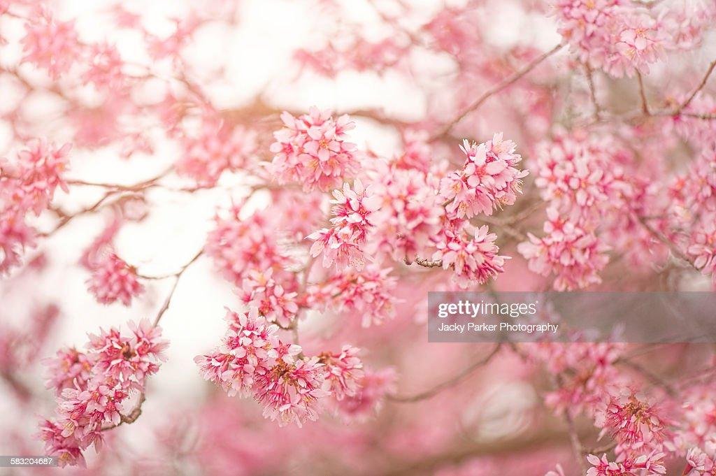 Prunus x incamp 'Okame': 'Okame' Cherry