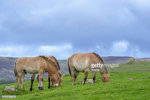 Przewalski horses native to the steppes of Mongolia central Asia grazing in grassland