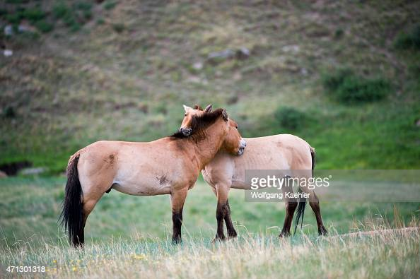 Przewalski horses or Takhi mutual preening the only still living wild ancestor of the domestic horses at Hustai National Park Mongolia