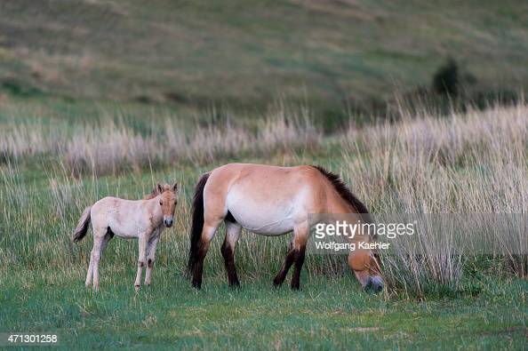 Przewalski horses with foals or Takhi the only still living wild ancestor of the domestic horses at Hustai National Park Mongolia