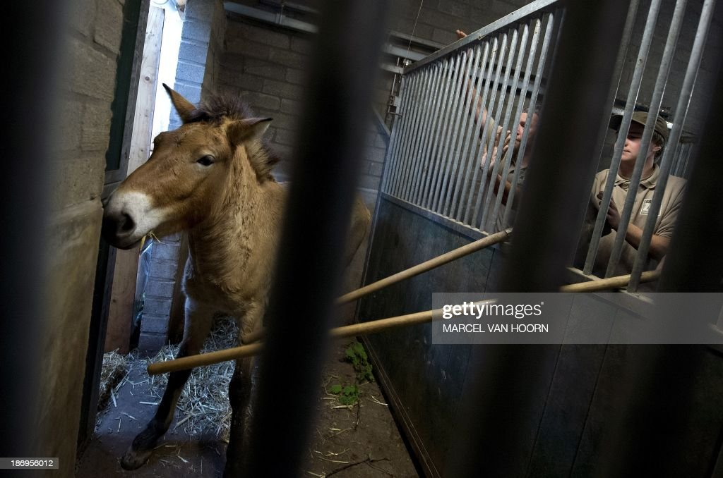 A Przewalski mare is persuaded into the transport box, after an anesthetic injection, at the GaiaZOO in Kerkrade, Netherlands, on November 5, 2013. Two mares are being put on a transport to the wildlife park in Dolni Dobrejov where they will naturalize in preparation for life with their wild counterparts the near future.The horse a rare and endangered subspecies of wild horse (Equus ferus) native to the steppes of central Asia, specifically Mongolia, AFP PHOTO/ ANP MARCEL VAN HOORN netherlands out