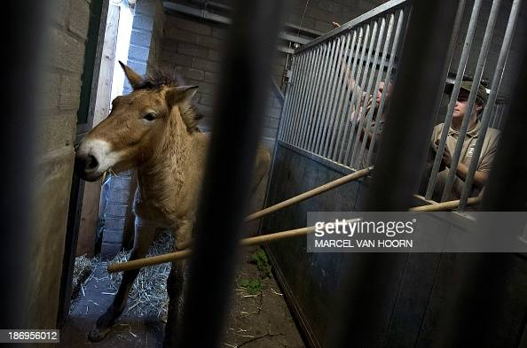 A Przewalski mare is persuaded into the transport box after an anesthetic injection at the GaiaZOO in Kerkrade Netherlands on November 5 2013 Two...
