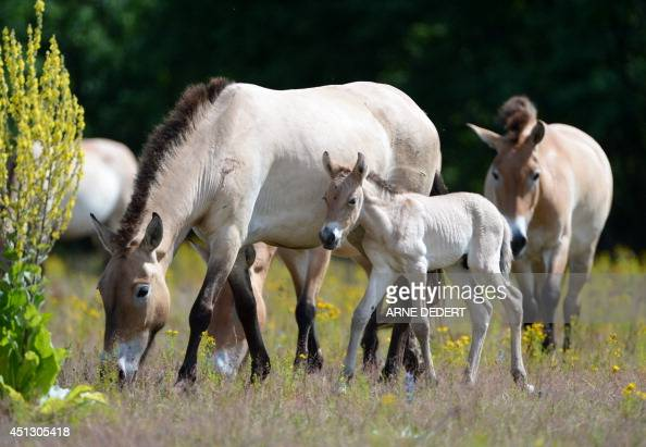 A Przewalski's horse foal grazes with mare 'Galinka' on a meadow at the former US military site 'Campo Pond' in HanauGrossheim western Germany on...