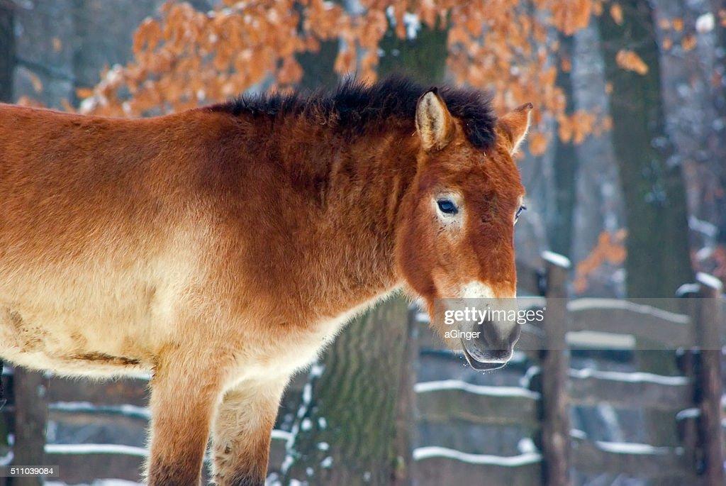 Przewalski's horse in winter