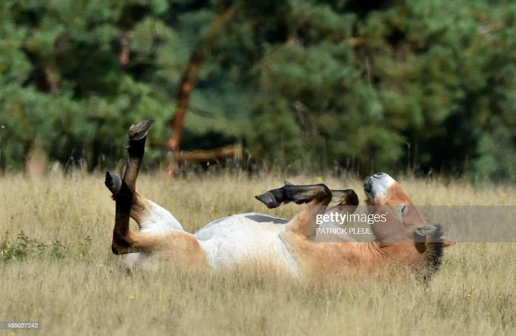 A Przewalski's horse lays on a meadow at the Schorfheide wild animal park in Gross Schoenebeck, eastern Germany, on September 8, 2014. Przewalski's horses are an endangered subspecies of wild horses native to the steppes of central Asia. AFP PHOTO / DPA / PATRICK PLEUL / GERMANY OUT