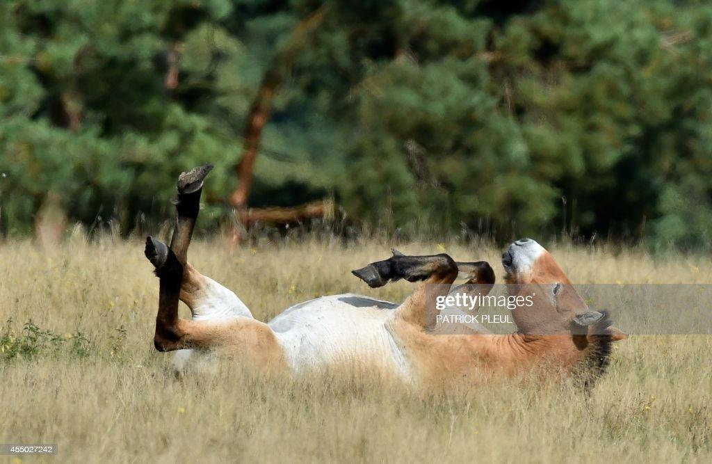 A Przewalski's horse lays on a meadow at the Schorfheide wild animal park in Gross Schoenebeck eastern Germany on September 8 2014 Przewalski's...