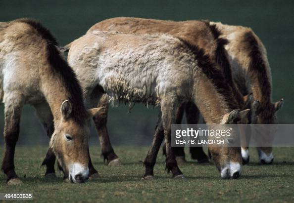 Przewalski's horse or Dunzgarian horse Equidae